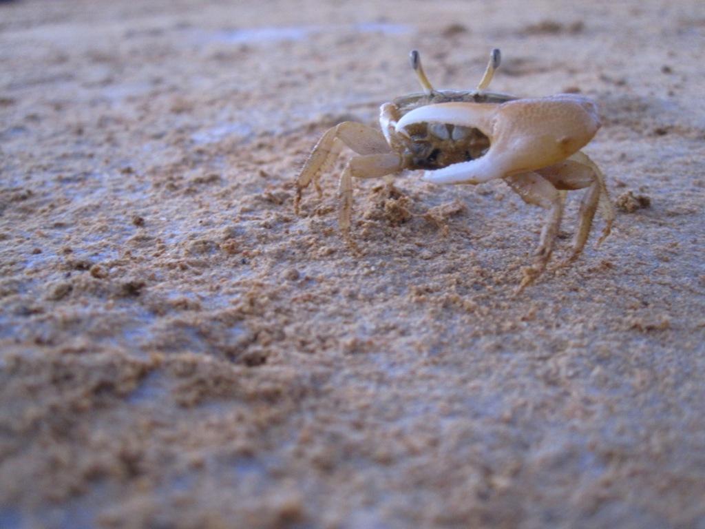 Punta Gallinas, le petit crabe