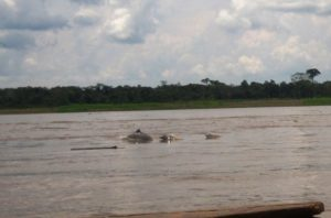 Oh ! Des dauphins gris !