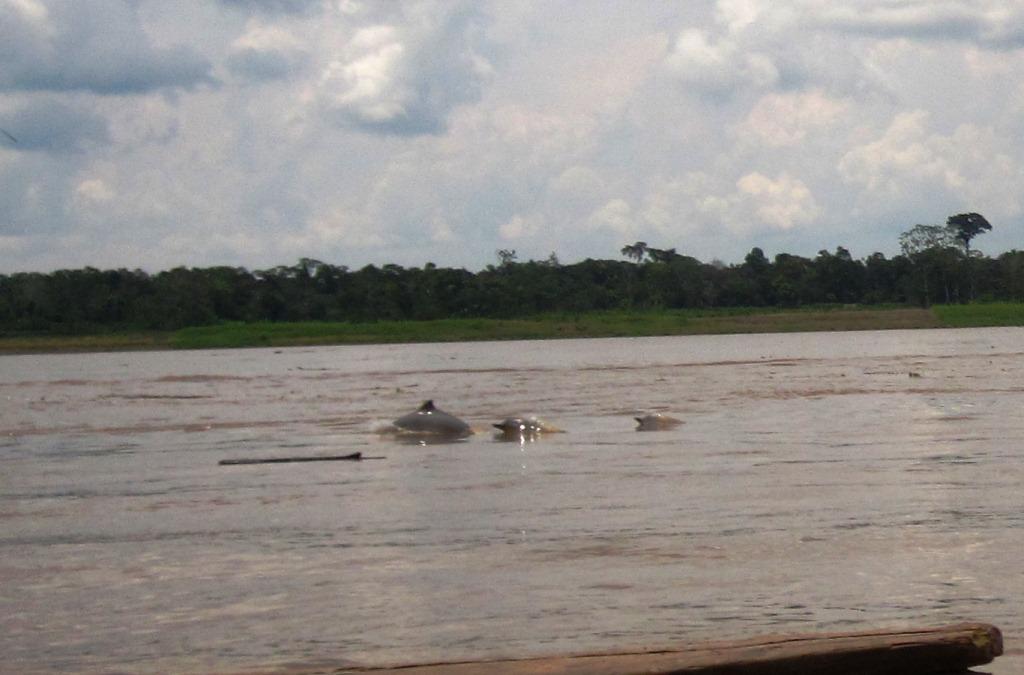 Sur l'Amazone, des dauphins pas roses