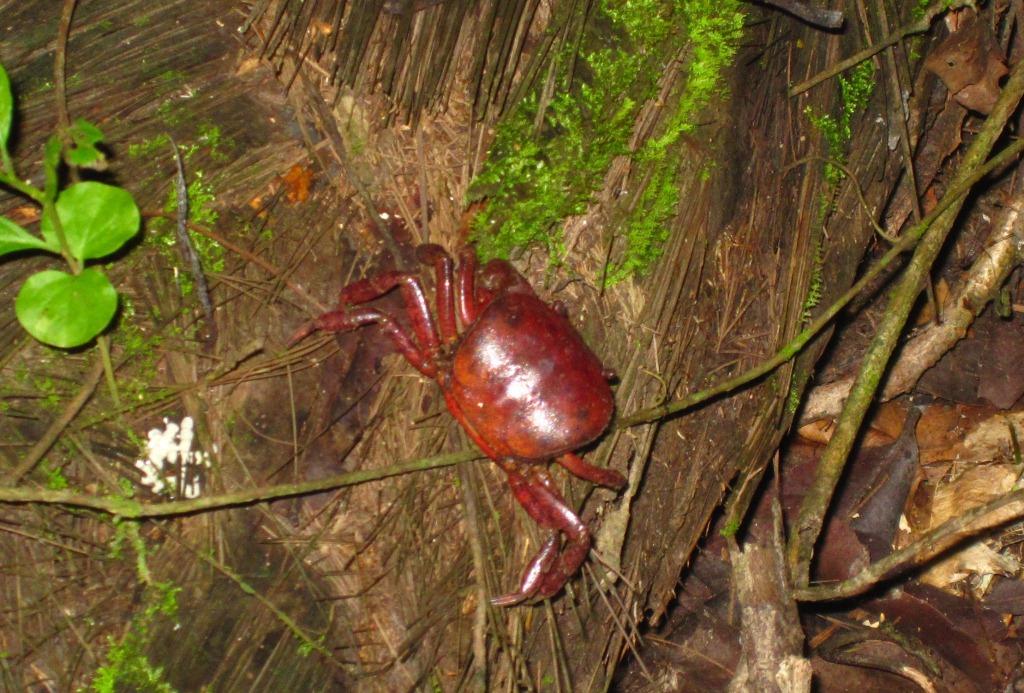 Un crabe terrestre