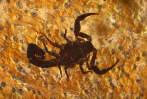 Tout doux le scorpion