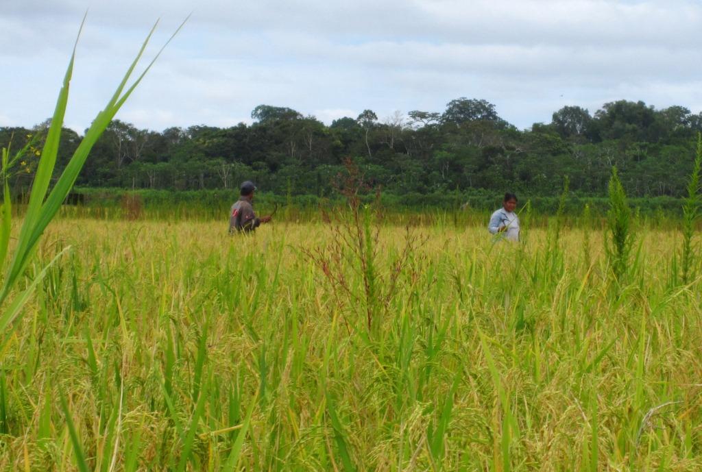 Dans la rizière