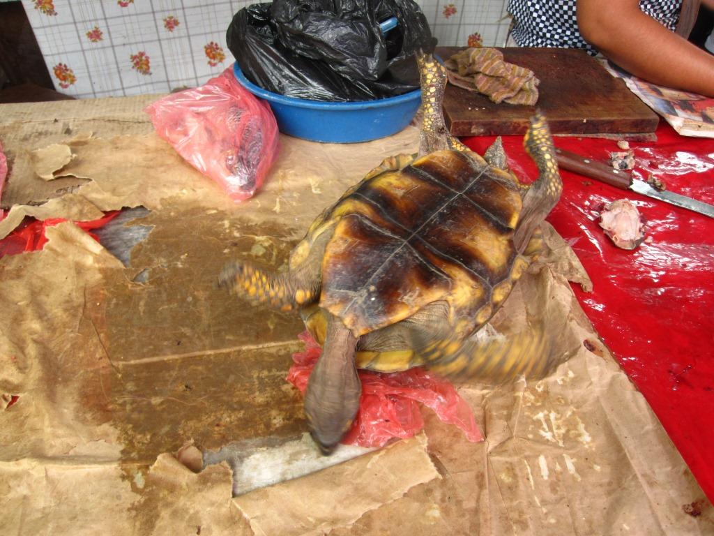 Une tortue bientôt sacrifiée