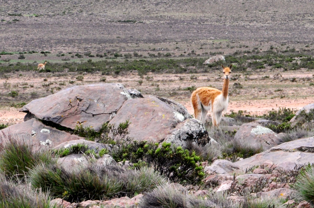 La star des Andes : la vigogne