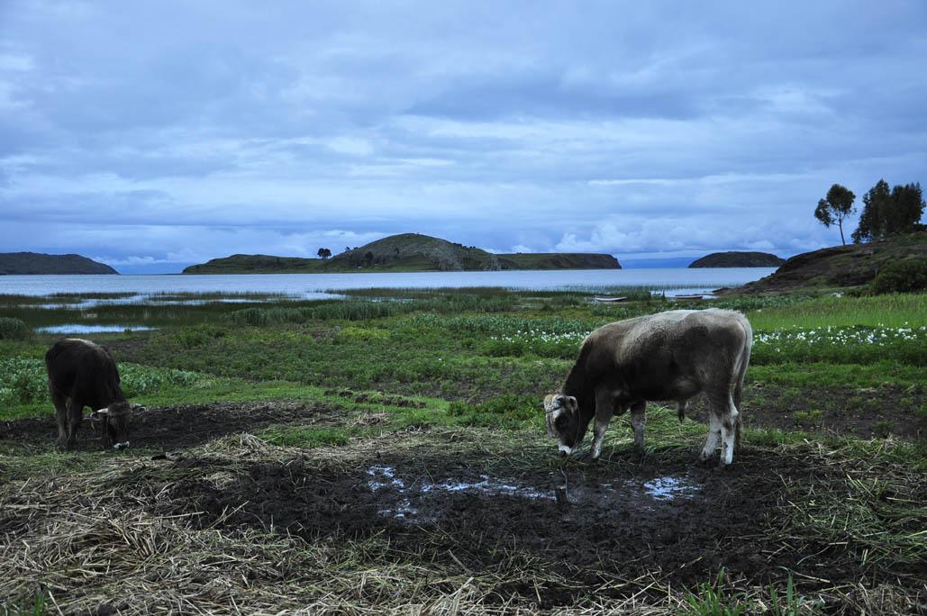 Ccotos, vache, Titikaka au crépuscule (c'est de l'art!)