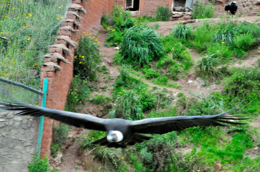 Refuge, condor flou parce qu'il vole trop vite