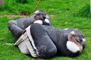 Les condors au repos