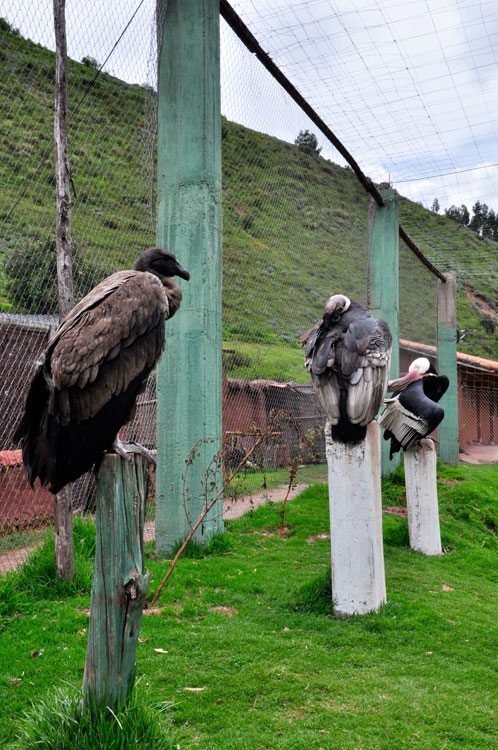 Refuge, triplette de condors