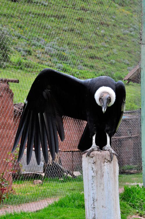 Refuge, condor