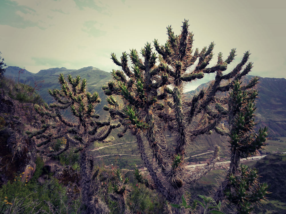 Un genre de cactus