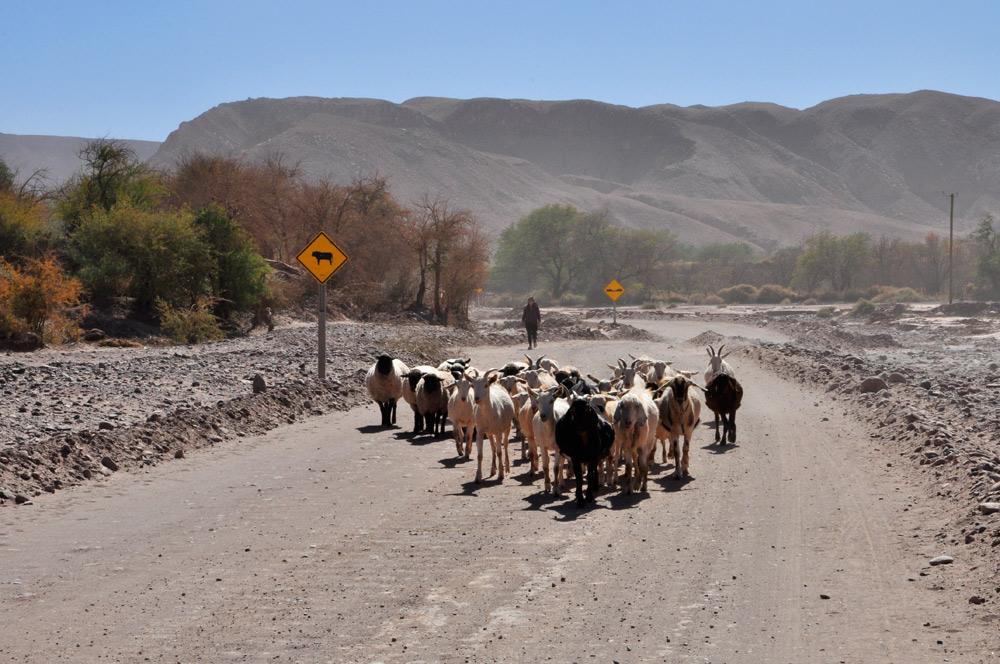 Des chèvres à San Pedro de Atacama