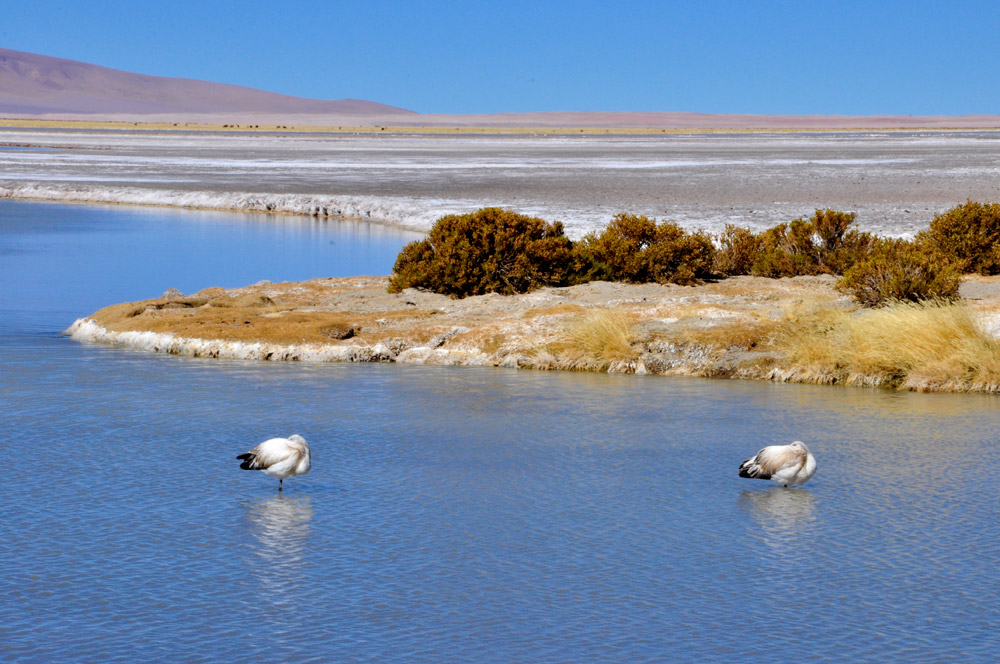 Flamants, salar de Tara
