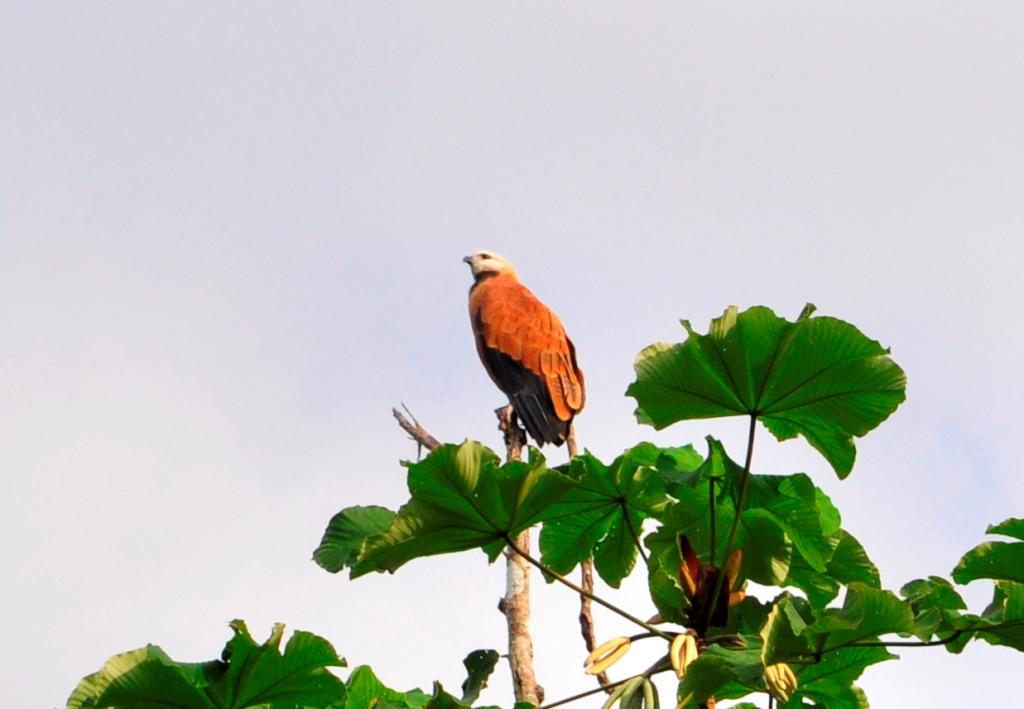 Un faucon