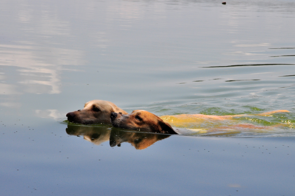 Les chiens fidèles, Kelvin et Gringo qui n'ont pas peur des piranhas