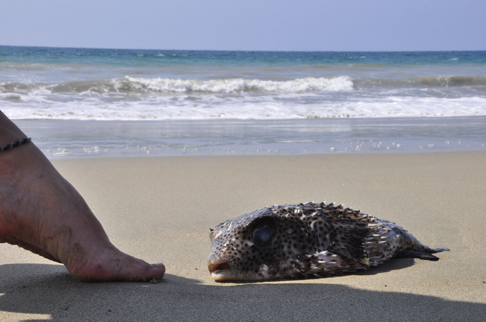 Mancora plage, échoué qui fait bronzette