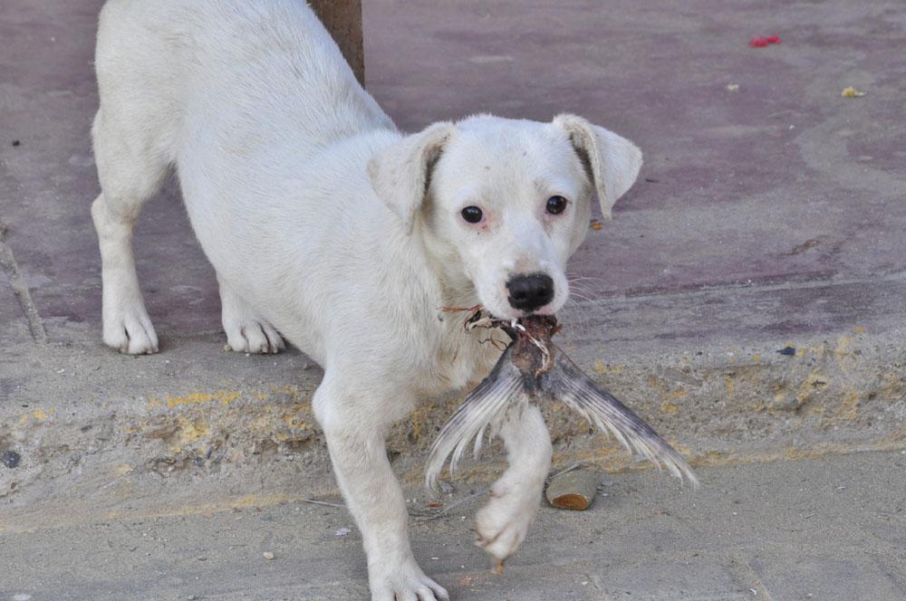 Mancora, un chien de rue à l'heure du déjeuner