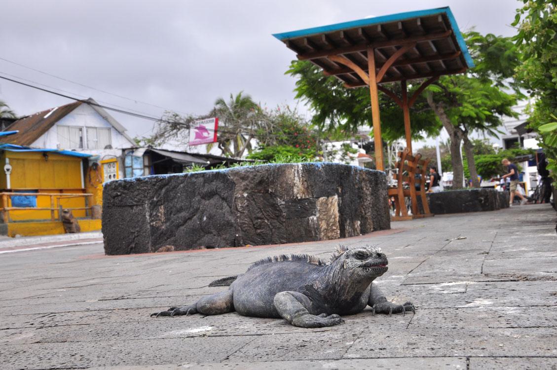 Santa Cruz, Puerto Ayora, un iguane dans la ville