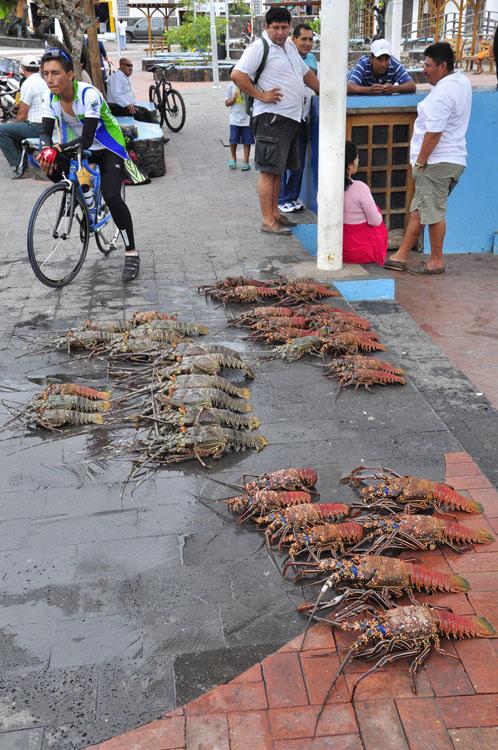 Santa Cruz, Puerto Ayora, arrivage du jour au port de pêche