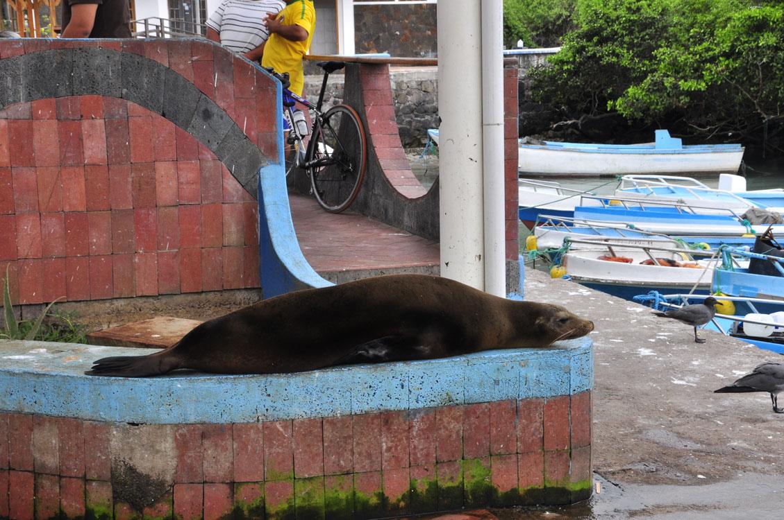 Santa Cruz, Puerto Ayora, port de pêche, une otarie dans la ville