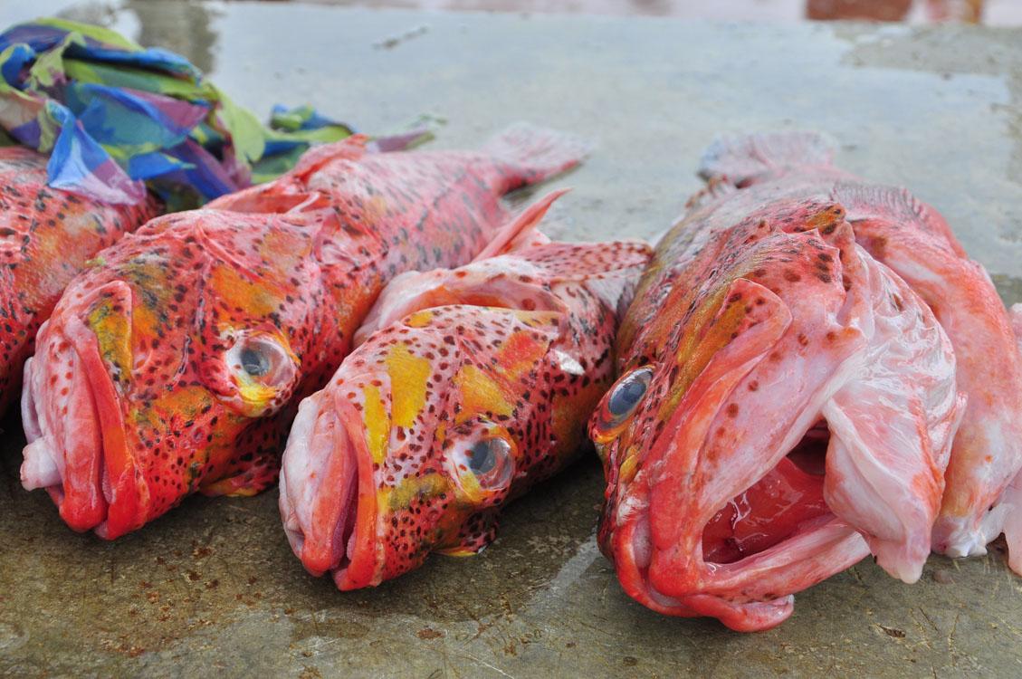 Santa Cruz, Puerto Ayora, arrivage de mérous au port de pêche