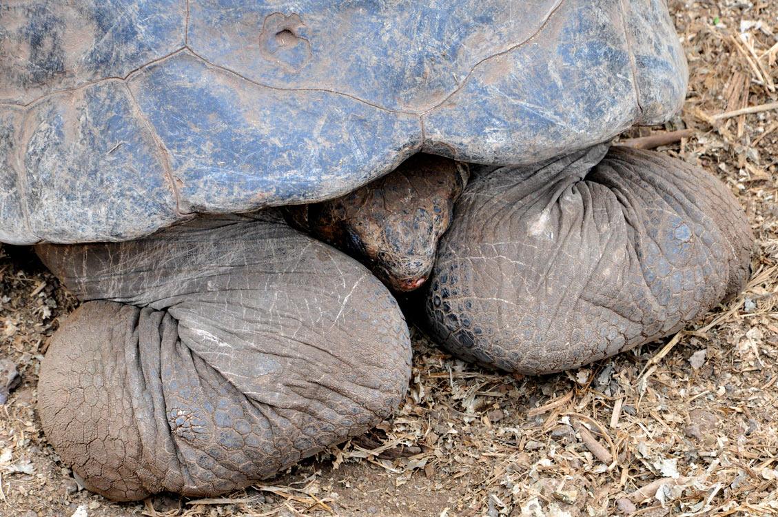 Santa Cruz, Puerto Ayora, centre Darwin, une tortue timide