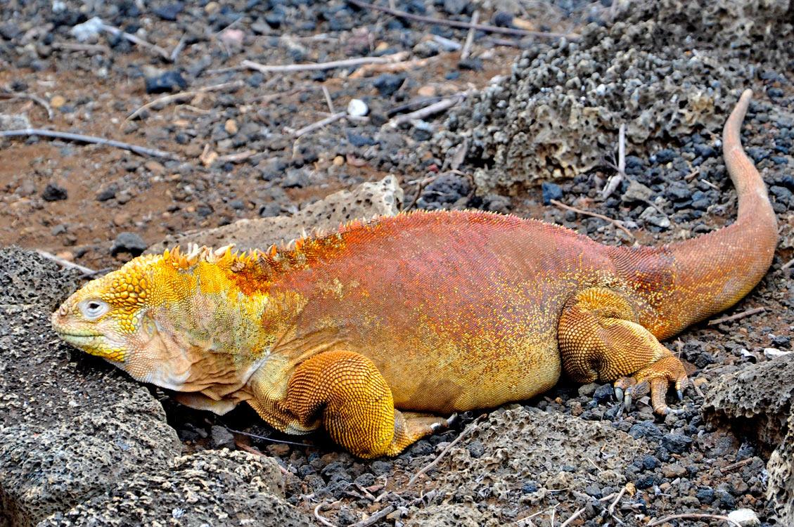 Santa Cruz, Puerto Ayora, centre Darwin, Iguane terrestre de Santa Fe... et oui, il est jaune !
