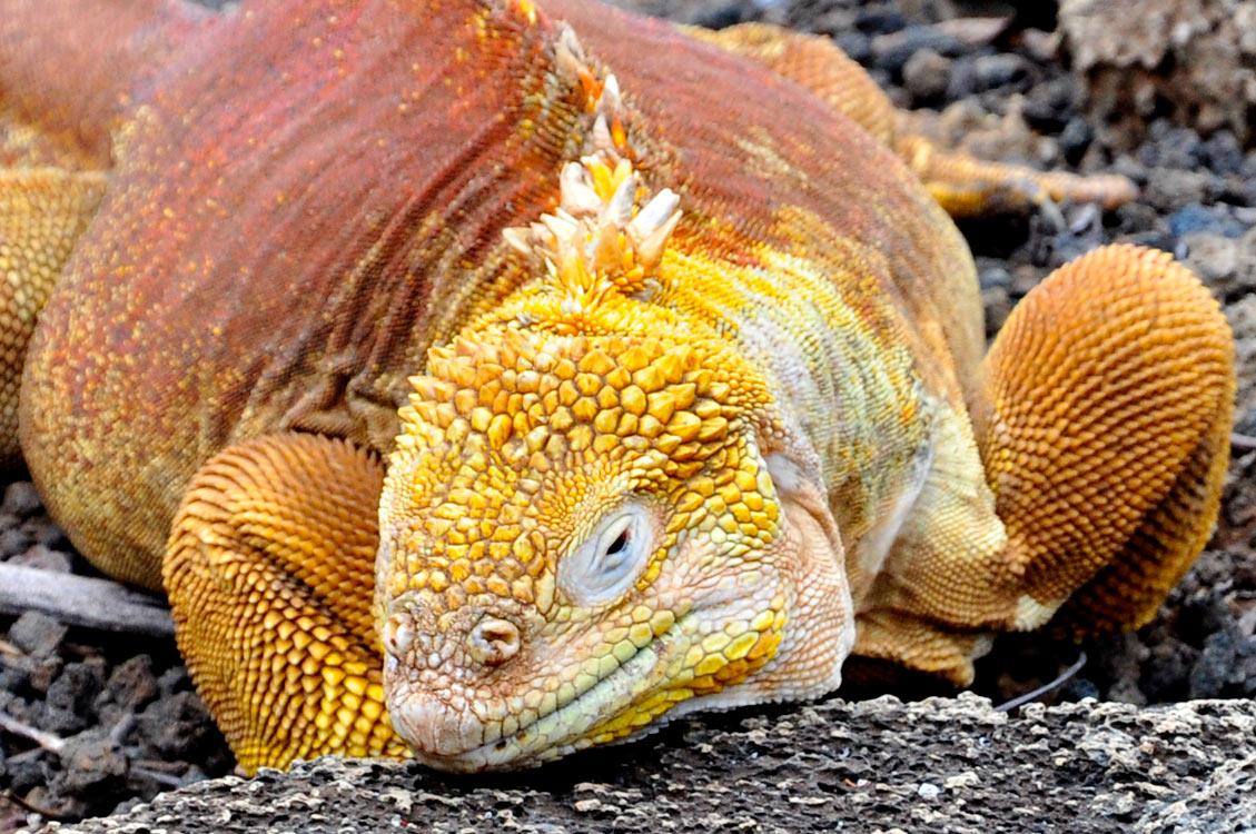 Santa Cruz, Puerto Ayora, centre Darwin, Iguane terrestre de Santa Fe
