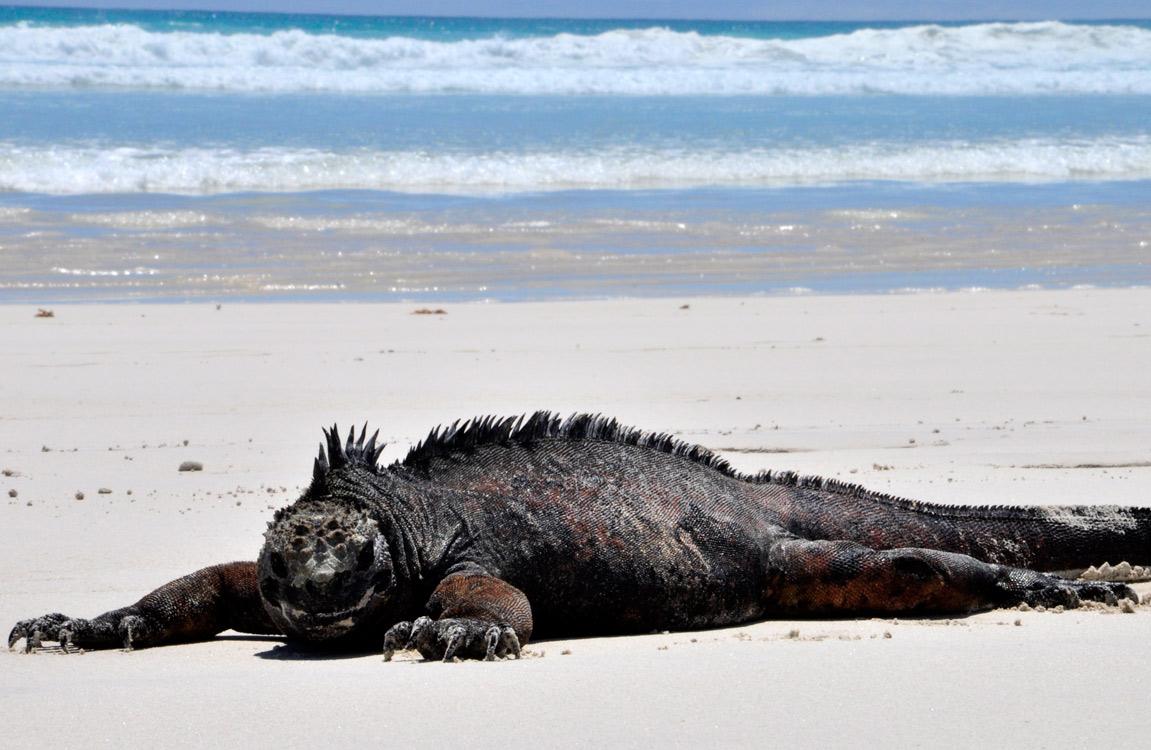 Santa Cruz, Tortuga Bay, iguane marin fatigué