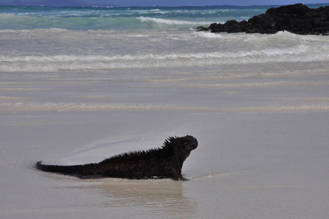 Santa Cruz, Tortuga Bay, iguane marin qui prend un bain