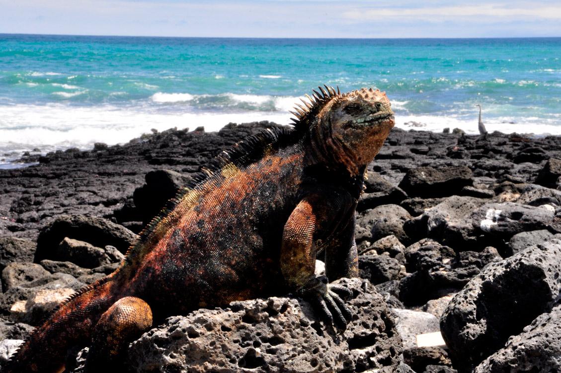 Santa Cruz, Tortuga Bay, iguane marin