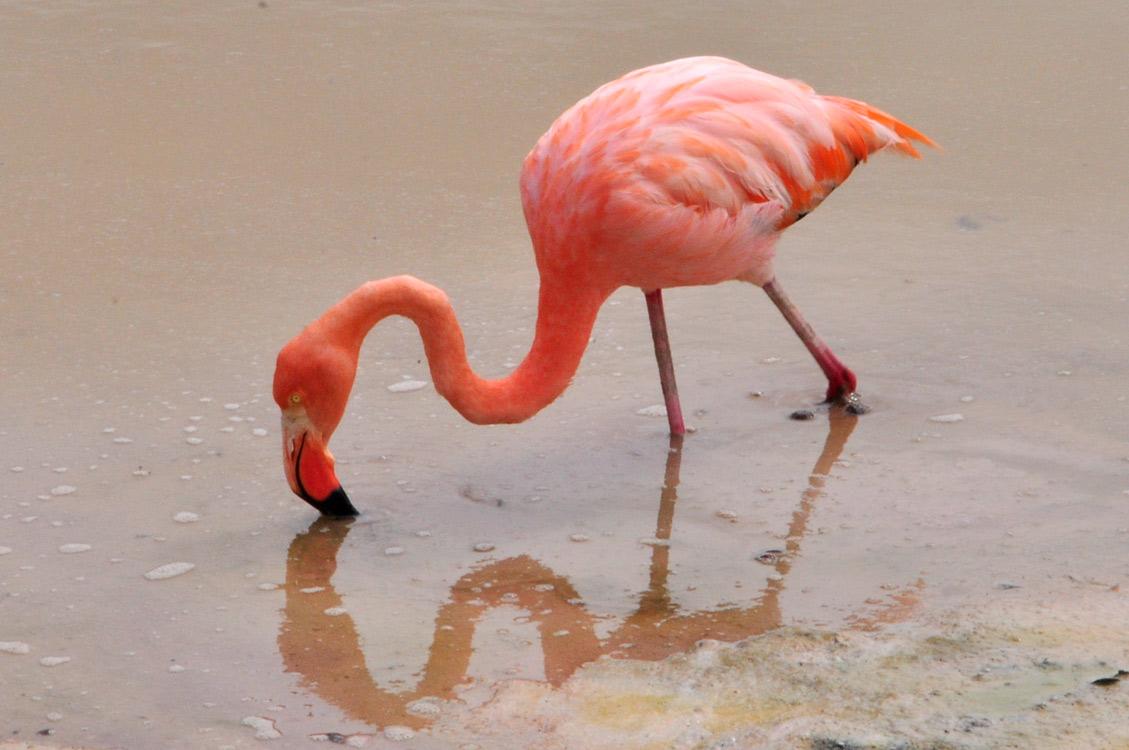 La lagune de Villamil, un flamand très rose