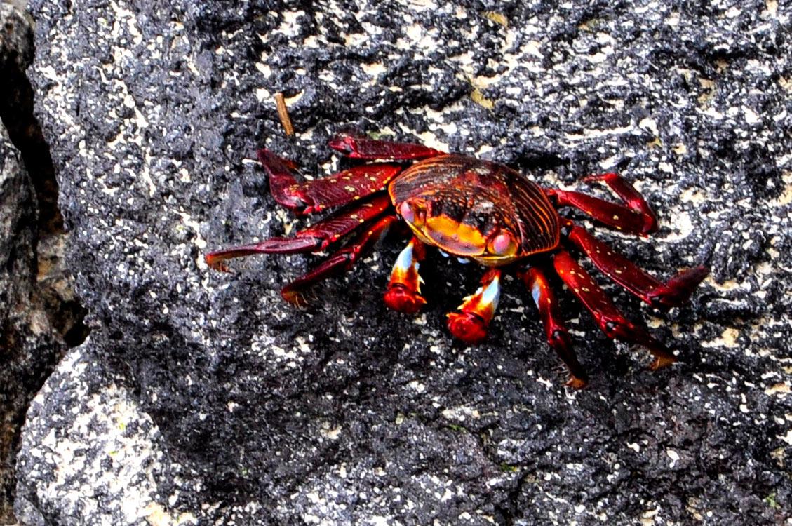 Crabe de lave