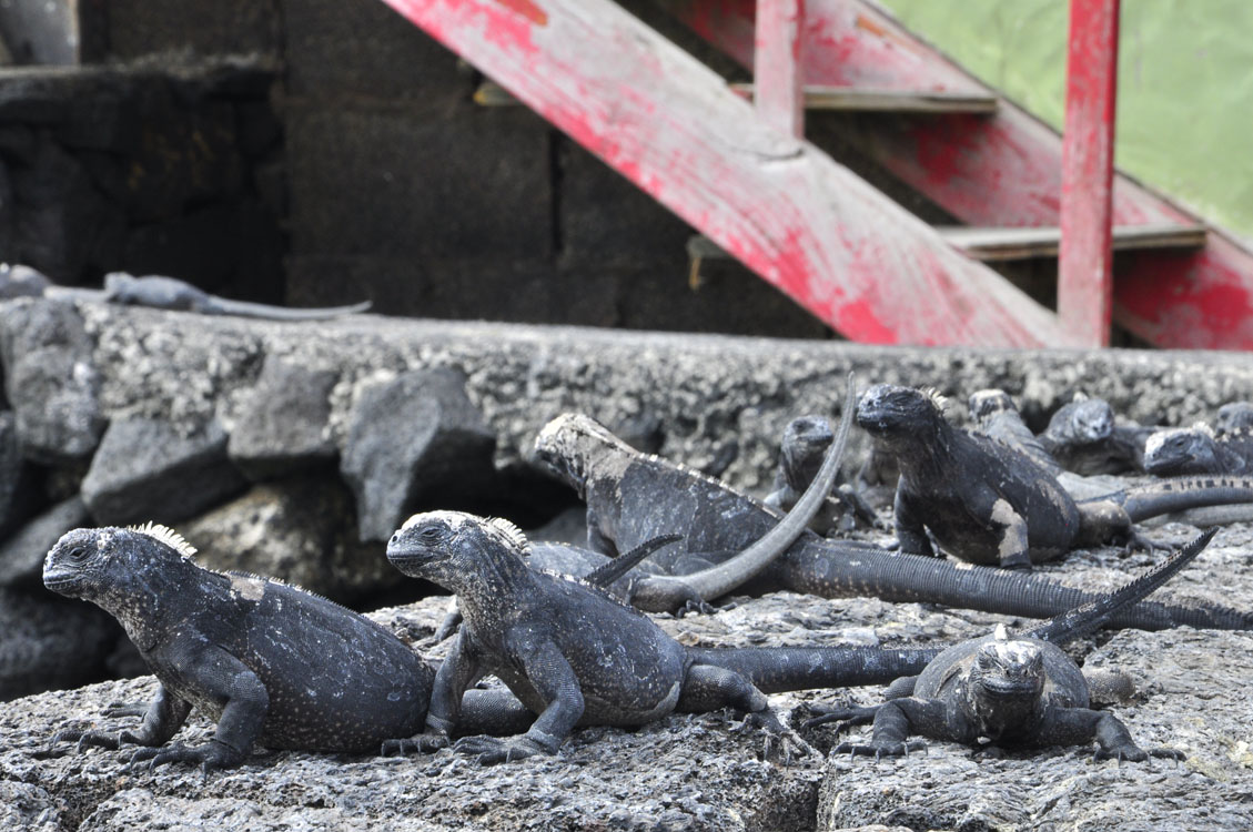 Bébés iguanes
