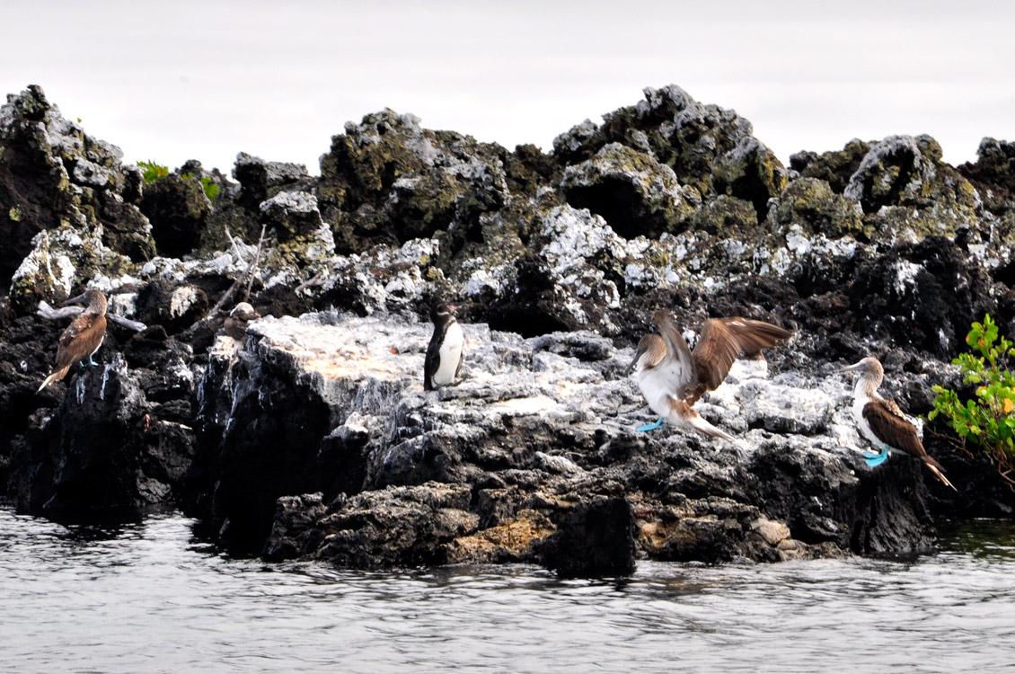 2 fous à pattes bleues et un pingouin sont sur un rocher