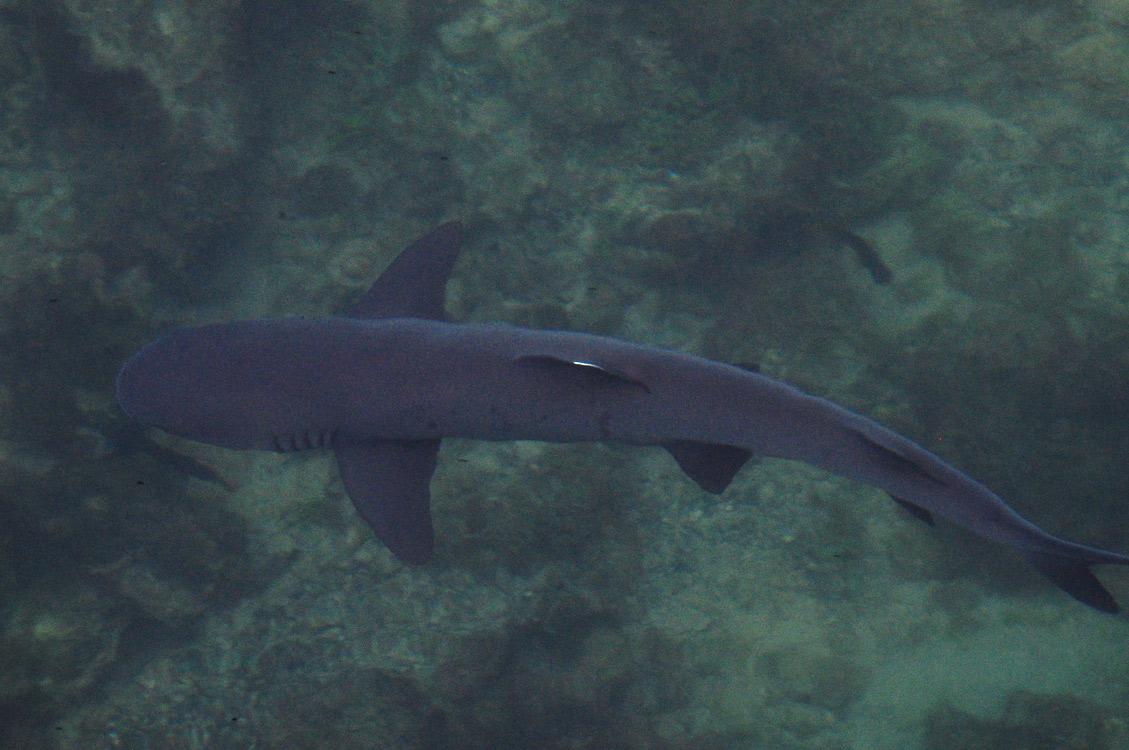 Un requin à pointe blanche aux tintoreras