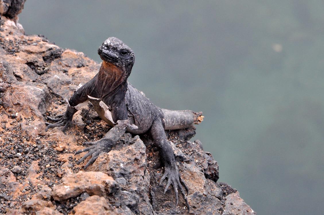 Un iguane sans queue qui mue (cecie n'est pa sune contrepétrie)