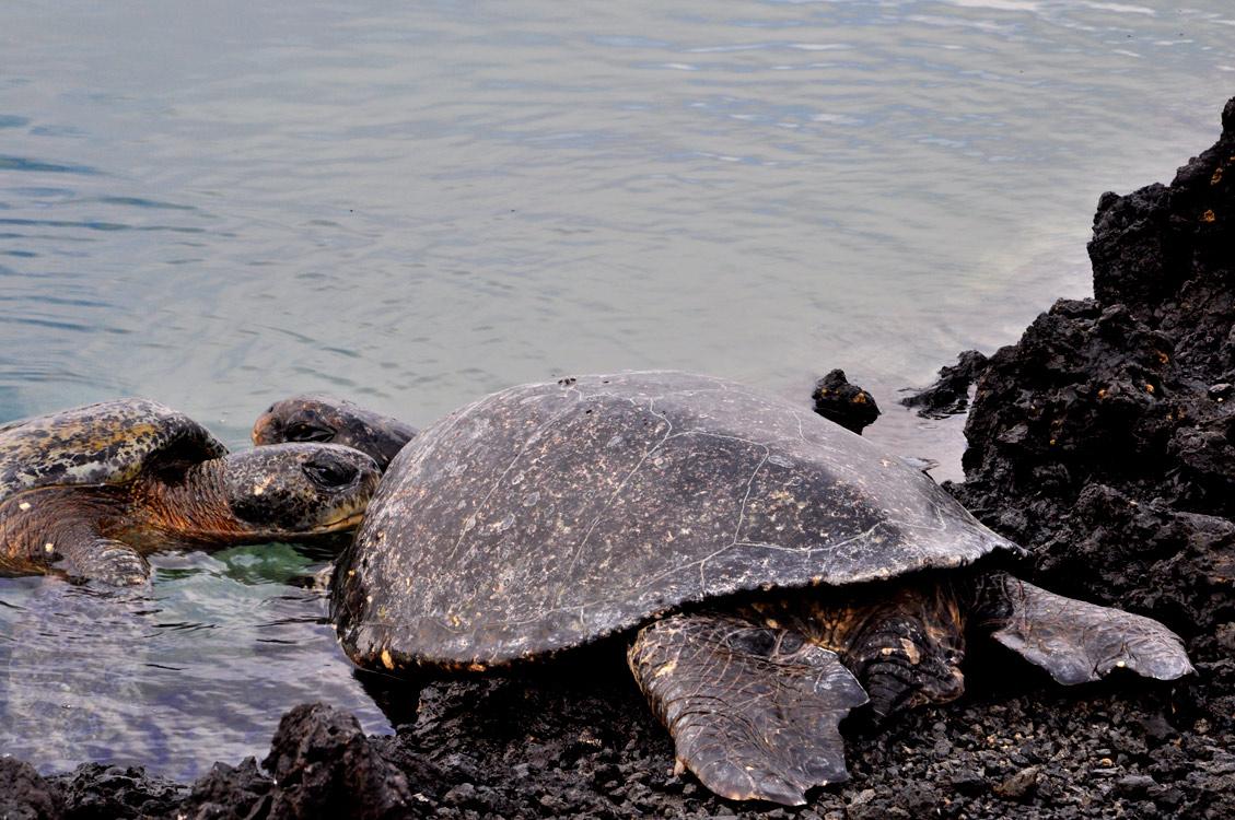 Bisou de tortues marines