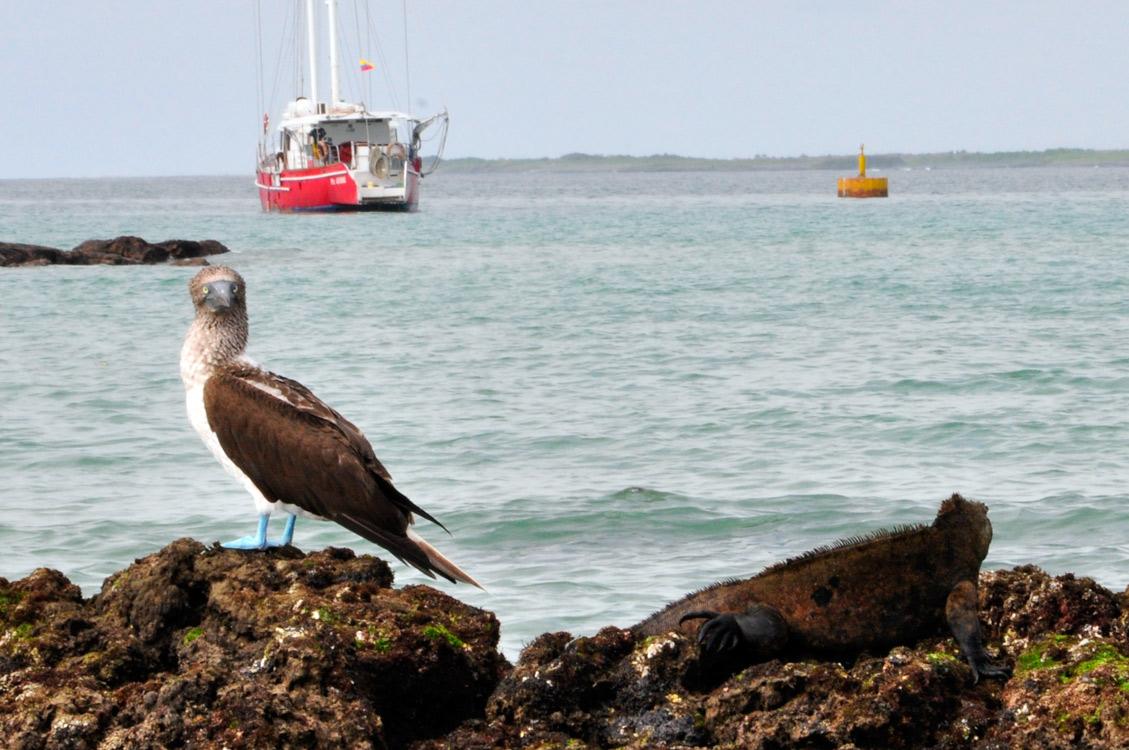 Bonne entente d'un iguane et d'un fou à pied bleu et à bonne bouille