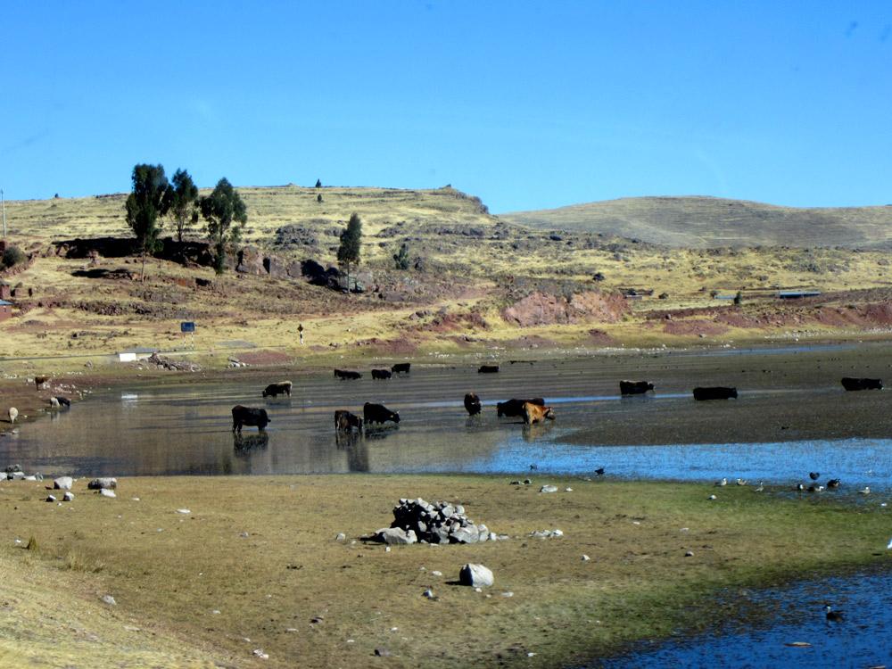 Les vaches flottantes du lac Umayo