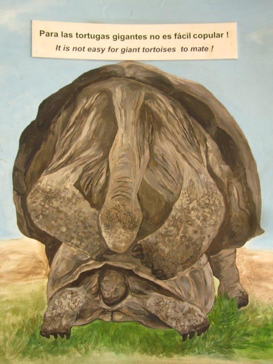 Pour les tortues géantes, ce n'est pas facile de copuler... Il fallait le savoir!