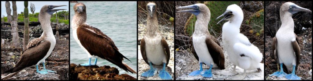Fou aux pieds bleus, mascotte des Galapagos