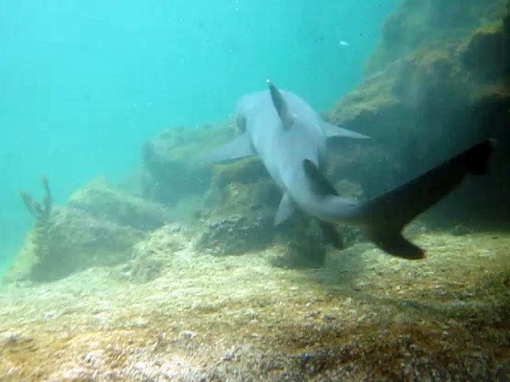 Requin pointe blanche des Galapagos