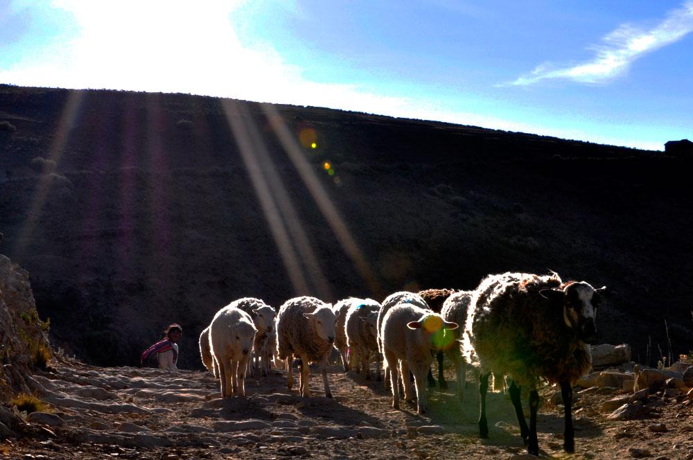 Isla del Sol, la bergère et son troupeau