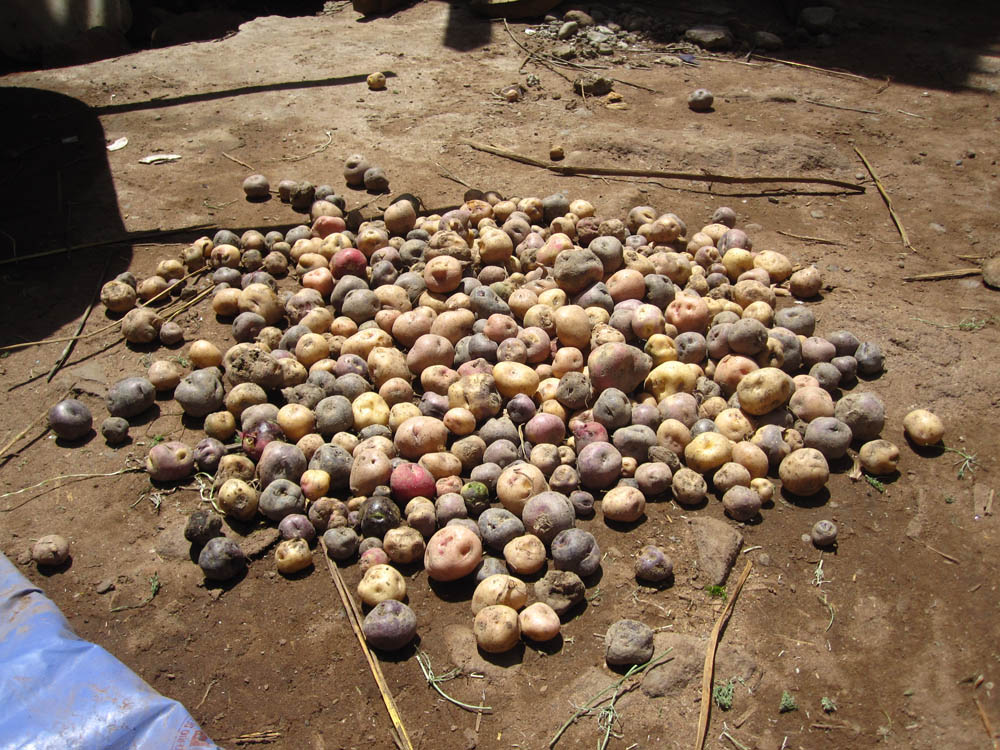 Des patates fraîches dans la cour de la maison