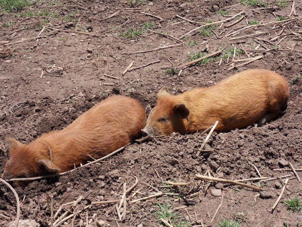 Les cochons de la maison