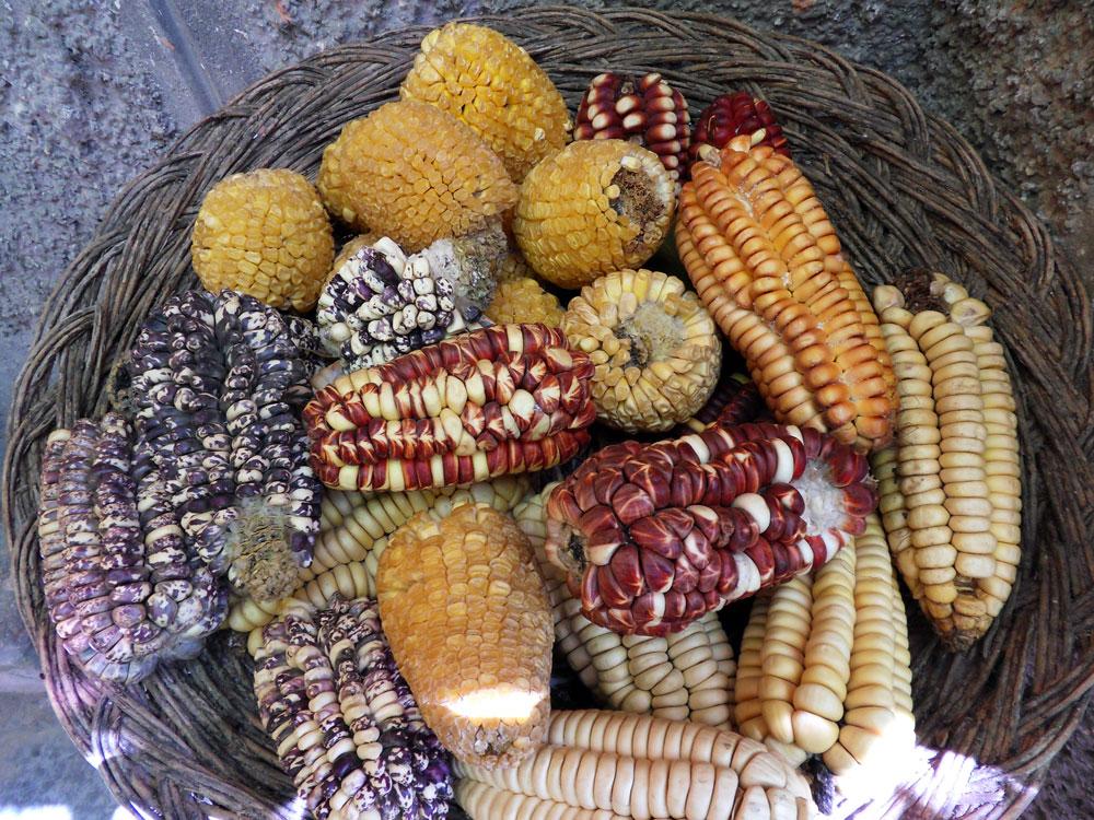 Un panier de maïs